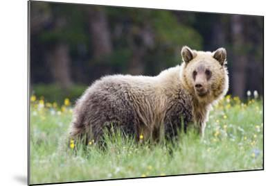 A Grizzly Bear Juvenile Standing in Summer Wildflower Field-Tom Murphy-Mounted Photographic Print