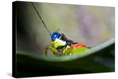 The Blue Eyes of a Colorful Grasshopper Resting on a Leaf in the Amazon Rainforest-Jason Edwards-Stretched Canvas Print