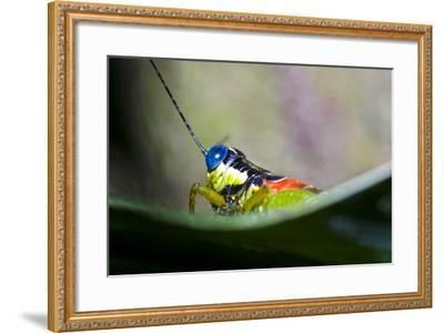The Blue Eyes of a Colorful Grasshopper Resting on a Leaf in the Amazon Rainforest-Jason Edwards-Framed Photographic Print
