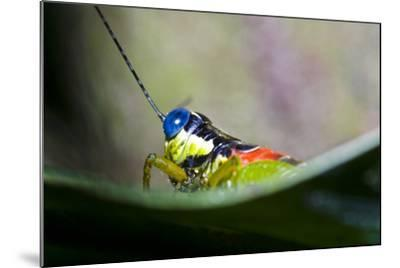 The Blue Eyes of a Colorful Grasshopper Resting on a Leaf in the Amazon Rainforest-Jason Edwards-Mounted Photographic Print