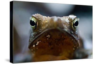 Bright and Sharp, the Eyes of a Crested Forest Toad Hunting in the Amazon Rainforest-Jason Edwards-Stretched Canvas Print