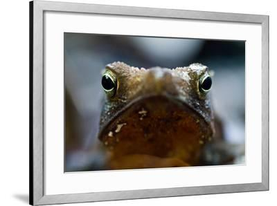 Bright and Sharp, the Eyes of a Crested Forest Toad Hunting in the Amazon Rainforest-Jason Edwards-Framed Photographic Print