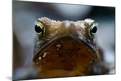 Bright and Sharp, the Eyes of a Crested Forest Toad Hunting in the Amazon Rainforest-Jason Edwards-Mounted Photographic Print