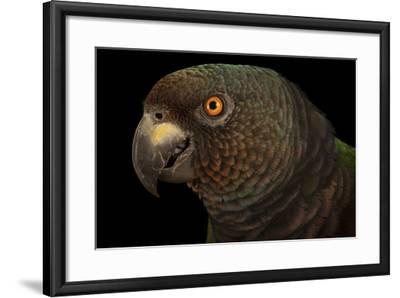 An Endangered Imperial Parrot at the Rare Species Conservatory Foundation, One of Two in Captivity-Joel Sartore-Framed Photographic Print
