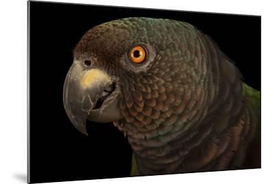 An Endangered Imperial Parrot at the Rare Species Conservatory Foundation, One of Two in Captivity-Joel Sartore-Mounted Photographic Print