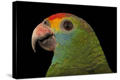 An Endangered Red-Browed Amazon Parrot at the Rare Species Conservatory Foundation-Joel Sartore-Stretched Canvas Print