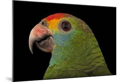 An Endangered Red-Browed Amazon Parrot at the Rare Species Conservatory Foundation-Joel Sartore-Mounted Photographic Print