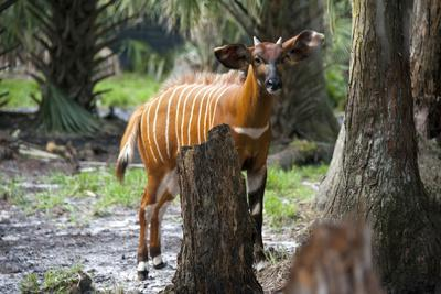 An Eastern or Mountain Bongo at the Rare Species Conservatory Foundation-Joel Sartore-Framed Photographic Print