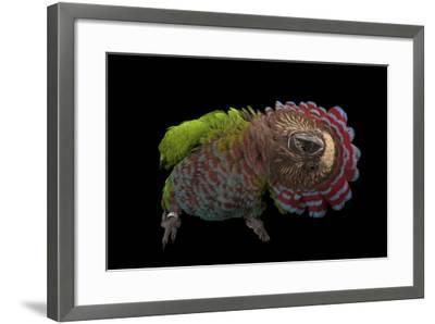 A Hawk-Headed Parrot, Deroptyus Accipitrinus-Joel Sartore-Framed Photographic Print