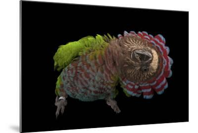 A Hawk-Headed Parrot, Deroptyus Accipitrinus-Joel Sartore-Mounted Photographic Print