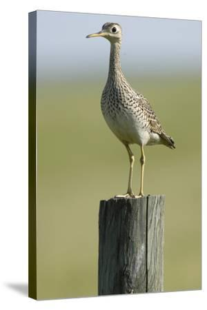 Portrait of an Upland Sandpiper, Bartramia Longicauda, Standing on a Wooden Post-Michael Forsberg-Stretched Canvas Print