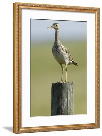 Portrait of an Upland Sandpiper, Bartramia Longicauda, Standing on a Wooden Post-Michael Forsberg-Framed Photographic Print