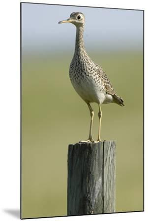 Portrait of an Upland Sandpiper, Bartramia Longicauda, Standing on a Wooden Post-Michael Forsberg-Mounted Photographic Print