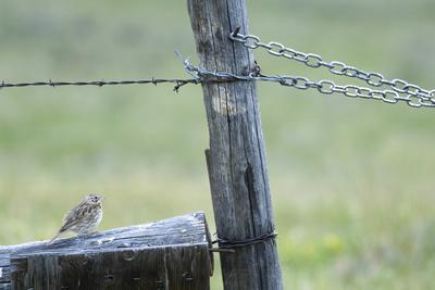 A Vesper Sparrow, Pooecetes Gramineus, Perched on a Fence Post-Michael Forsberg-Framed Photographic Print
