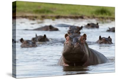 An Alert Hippopotamus, Hippopotamus Amphibius, Among Others in the Water-Sergio Pitamitz-Stretched Canvas Print