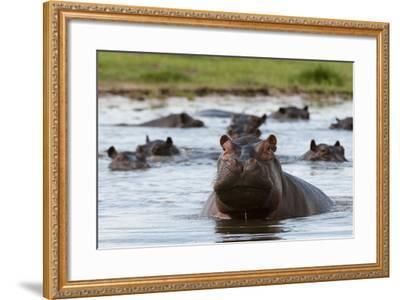 An Alert Hippopotamus, Hippopotamus Amphibius, Among Others in the Water-Sergio Pitamitz-Framed Photographic Print