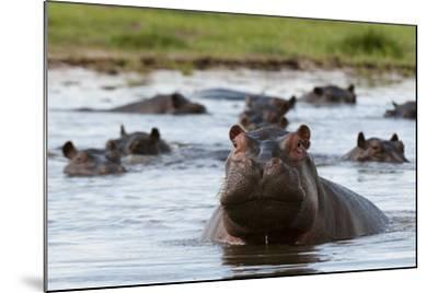 An Alert Hippopotamus, Hippopotamus Amphibius, Among Others in the Water-Sergio Pitamitz-Mounted Photographic Print