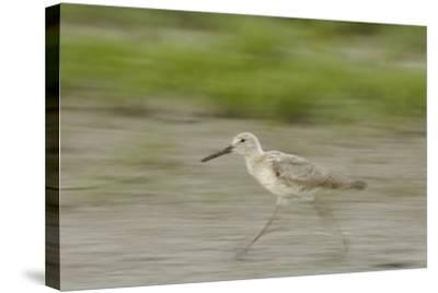 Portrait of a Willet, Catoprophorus Semipalmatus, Running-Michael Forsberg-Stretched Canvas Print