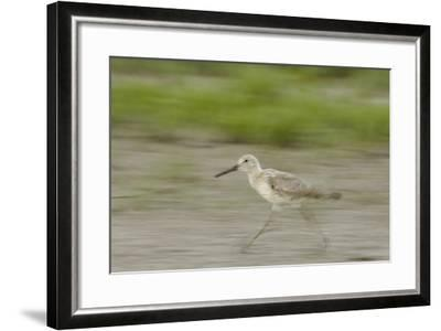 Portrait of a Willet, Catoprophorus Semipalmatus, Running-Michael Forsberg-Framed Photographic Print