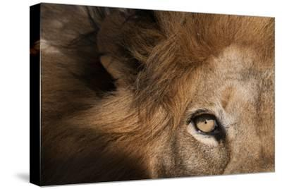 Close Up of a Male Lion's Eye, Panthera Leo-Sergio Pitamitz-Stretched Canvas Print