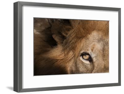 Close Up of a Male Lion's Eye, Panthera Leo-Sergio Pitamitz-Framed Photographic Print