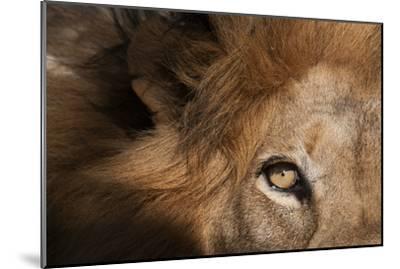 Close Up of a Male Lion's Eye, Panthera Leo-Sergio Pitamitz-Mounted Photographic Print