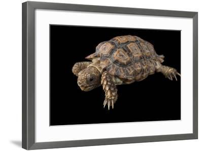 A Speckled Cape Tortoise, Homopus Signatus Signatus, at the Omaha Zoo-Joel Sartore-Framed Photographic Print