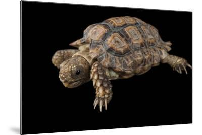 A Speckled Cape Tortoise, Homopus Signatus Signatus, at the Omaha Zoo-Joel Sartore-Mounted Photographic Print
