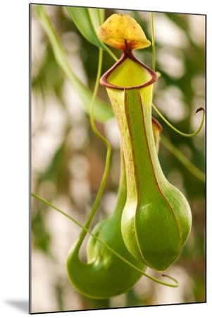 Close Up of the Pitchers of a Common Pitcher Plant, Sarracenia Purpurea-Darlyne A^ Murawski-Mounted Photographic Print