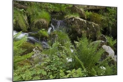 Ferns, Mosses, and Wildflowers Growing around Kleine Ohe Creek-Norbert Rosing-Mounted Photographic Print