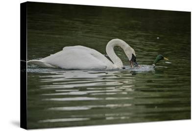 A Trumpeter Swan Protects its Young from a Mallard Drake That Came Within 6 Feet of the Cygnets-Tom Murphy-Stretched Canvas Print