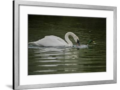 A Trumpeter Swan Protects its Young from a Mallard Drake That Came Within 6 Feet of the Cygnets-Tom Murphy-Framed Photographic Print