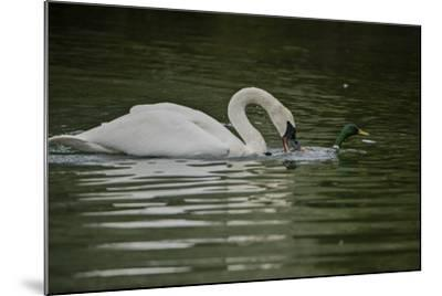 A Trumpeter Swan Protects its Young from a Mallard Drake That Came Within 6 Feet of the Cygnets-Tom Murphy-Mounted Photographic Print