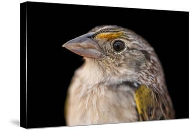 A Federally Endangered, Male Florida Grasshopper Sparrow, Ammodramus Savannarum Floridanus-Joel Sartore-Stretched Canvas Print