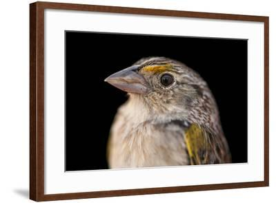 A Federally Endangered, Male Florida Grasshopper Sparrow, Ammodramus Savannarum Floridanus-Joel Sartore-Framed Photographic Print