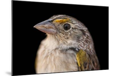 A Federally Endangered, Male Florida Grasshopper Sparrow, Ammodramus Savannarum Floridanus-Joel Sartore-Mounted Photographic Print