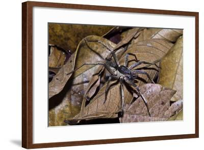 A Wolf Spider Is an Agile and Fierce Hunter Searching for Prey in the Leaf Litter-Jason Edwards-Framed Photographic Print