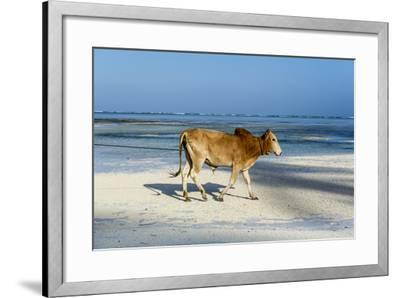 A Domestic Bull Walking Along a White Sand Beach on a Tropical Island at Low Tide-Jason Edwards-Framed Photographic Print