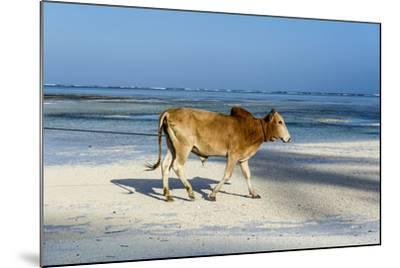 A Domestic Bull Walking Along a White Sand Beach on a Tropical Island at Low Tide-Jason Edwards-Mounted Photographic Print