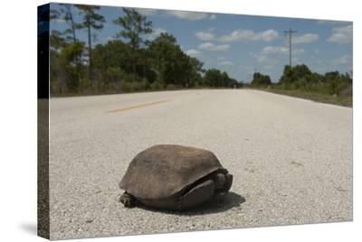 A Gopher Tortoise Near Kissimmee Prairie Preserve State Park-Joel Sartore-Stretched Canvas Print