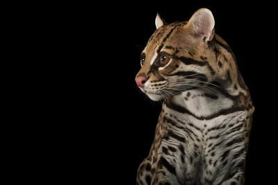 An Ocelot, Leopardus Pardalis, at the Omaha Zoo-Joel Sartore-Framed Photographic Print