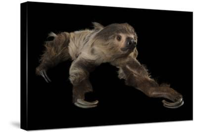A Two-Toed Sloth, Choloepus Didactylus, at the Lincoln Children's Zoo-Joel Sartore-Stretched Canvas Print