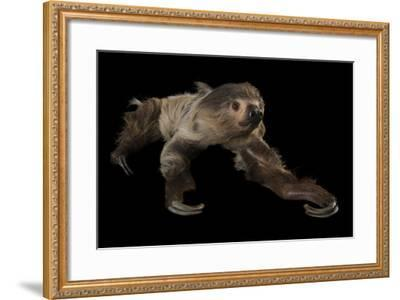 A Two-Toed Sloth, Choloepus Didactylus, at the Lincoln Children's Zoo-Joel Sartore-Framed Photographic Print