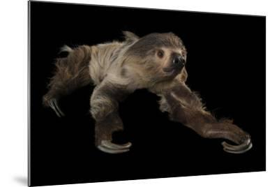 A Two-Toed Sloth, Choloepus Didactylus, at the Lincoln Children's Zoo-Joel Sartore-Mounted Photographic Print