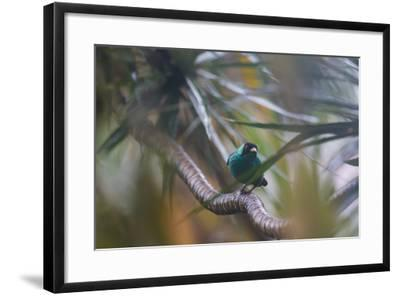 A Male Green Honeycreeper, Chlorophanes Spiza, Perching in a Tree in Ubatuba-Alex Saberi-Framed Photographic Print