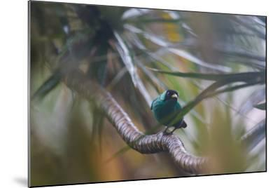 A Male Green Honeycreeper, Chlorophanes Spiza, Perching in a Tree in Ubatuba-Alex Saberi-Mounted Photographic Print