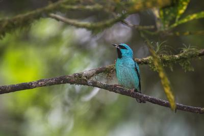 A Saira Bird Perches on a Tree in Ubatuba-Alex Saberi-Framed Photographic Print