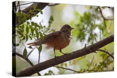 A Rufous Hornero Bird, Furnarius Rufus, Sits in a Tree at Sunset in Ibirapuera Park-Alex Saberi-Stretched Canvas Print