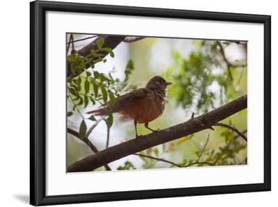 A Rufous Hornero Bird, Furnarius Rufus, Sits in a Tree at Sunset in Ibirapuera Park-Alex Saberi-Framed Photographic Print