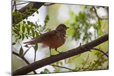 A Rufous Hornero Bird, Furnarius Rufus, Sits in a Tree at Sunset in Ibirapuera Park-Alex Saberi-Mounted Photographic Print